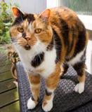 Grumpy tortoiseshell kitty cat Stock Images