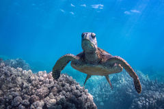 Grumpy Turtle. Grumpy but beautiful. A green sea turtle on a Hawaiian reef Royalty Free Stock Photography