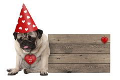 Grumpy Valentines`s day pug dog puppy with party hat sitting down next to wooden sign Royalty Free Stock Photos