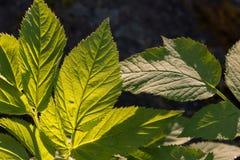 Grundältestes Aegopodium-podagraria Blätter Lizenzfreies Stockfoto