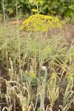 grund abstrakt blomma för fält för sammansättningsdjupdill Arkivfoton