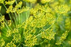grund abstrakt blomma för fält för sammansättningsdjupdill Royaltyfri Foto
