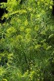 grund abstrakt blomma för fält för sammansättningsdjupdill Paraplyblomma av en trädgårds- örtväxtdill Fotografering för Bildbyråer