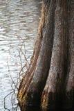 Grund för cypressträd i svart vatten Royaltyfri Foto