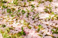 Grund-Kirschblüte-Blumenblätter lizenzfreie stockfotografie