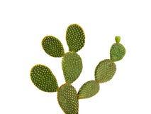 grund opuntia för djup fokus för kaktus Royaltyfri Fotografi