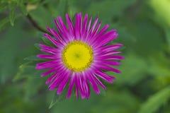 grund pink för tusenskönadof-blomma Arkivfoton