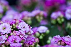 grund pink för tusenskönadof-blomma Arkivbilder