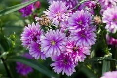 grund pink för tusenskönadof-blomma Royaltyfri Fotografi