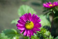 grund pink för tusenskönadof-blomma Royaltyfri Foto
