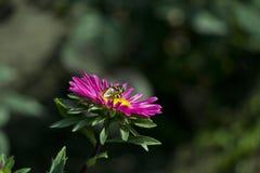 grund pink för tusenskönadof-blomma Fotografering för Bildbyråer