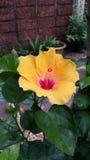 grund yellow för härlig dof-hibiskus Arkivbild