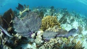 Grunda Coral Reef i Belize arkivfilmer