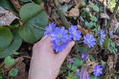 Grunda de första vårblommorna, för att ge blommor till en kvinna, honom sökte efter de första vårblommorna i träna royaltyfria foton