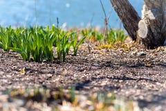 Grundaugenansicht der Narzisse lässt die Keimung oben vom Boden im Vorfrühling lizenzfreie stockfotografie