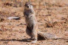 Grundeichhörnchen Stockfotografie