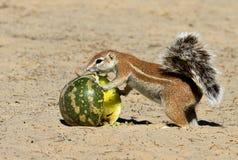 Grundeichhörnchen Lizenzfreie Stockfotos