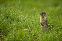 Grundeichhörnchen Stockfotos