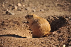 Grundeichhörnchen Stockbild