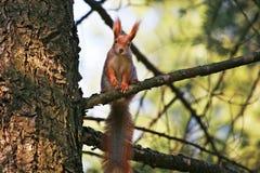 Grundeichhörnchen auf Zweig Stockfotografie