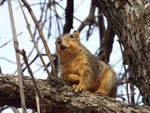 Grundeichhörnchen auf Zweig Lizenzfreie Stockbilder