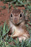 Grundeichhörnchenabschluß oben Lizenzfreies Stockbild