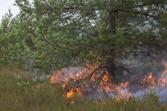 Grundfeuer unter Kiefer Stockbild