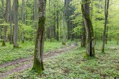 Grundfrischer grüner Frühjahrwald der straßenüberfahrt Lizenzfreies Stockbild