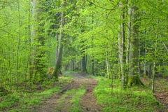 Grundfrischer grüner Frühjahrwald der straßenüberfahrt Lizenzfreies Stockfoto