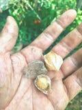 Grundkirschen oder Hülsekirschen in der Hand stockbilder