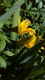 Grundlegende gelbe Blume Stockbilder