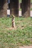 Grundschwein Stockbilder