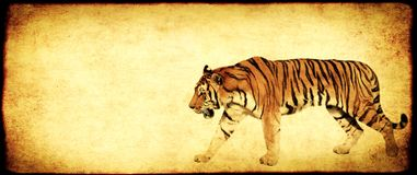 Grunge background with paper texture and tiger. Grunge background with paper texture and walking tiger stock photography