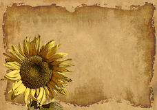 Grunge background with a sunflower Stock Photography