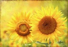 Grunge background with sunflower Stock Image