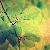 Grunge beech leaves Royalty Free Stock Photos