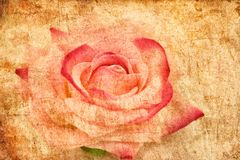 Grunge beige background with old rose texture. Background rose beauty flower nature beautiful  pink water blossom petal  love bloom  floral  romance  macro Royalty Free Stock Photo