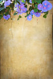 Grunge bindweed background. Violet bindweed on a grunge wall background with empty space Stock Photos