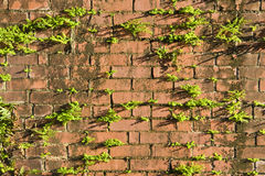 Grunge Brick. Ferns growiing on an old brick wall Royalty Free Stock Photos