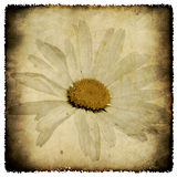 Grunge camomile. Old postcard with a flower. Old postcard, design in grunge and retro style Royalty Free Stock Photo