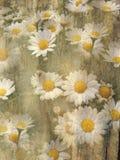 Grunge daisies background Stock Photos