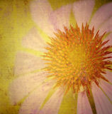 Grunge daisy Royalty Free Stock Images