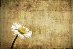 Grunge daisy Stock Images