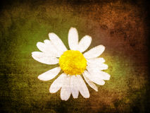 Grunge daisy background Royalty Free Stock Images