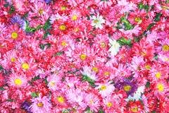 Grunge of daisy blossom background Royalty Free Stock Image