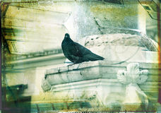 Grunge dove with textured border Stock Images