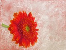 Grunge floral background. Red gerber Stock Photography