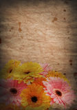 Grunge Gerbera daisies Stock Photography