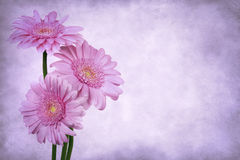 Grunge Gerbera Daisies Stock Photo