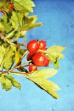 Grunge hawthorn berries photo Stock Image